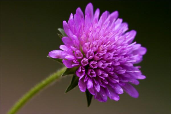 dispsacacea labiate violet